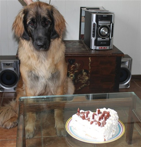 Leonberger Princess 1 år
