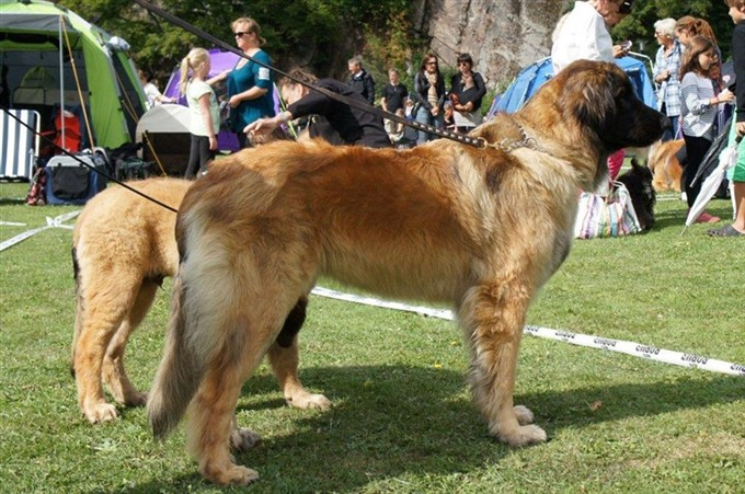 Leonberger Princess